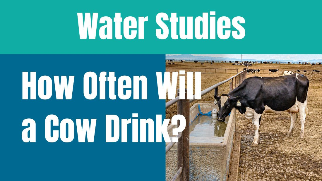 Water Studies on how often a cow will drink