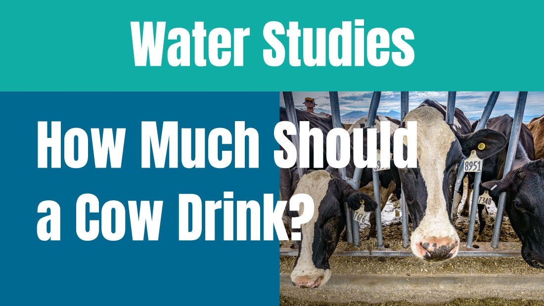 How much water should a cow drink?